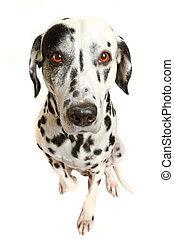 domestic animal - Bright eyes. Dalmatian, Charlie Thomson.