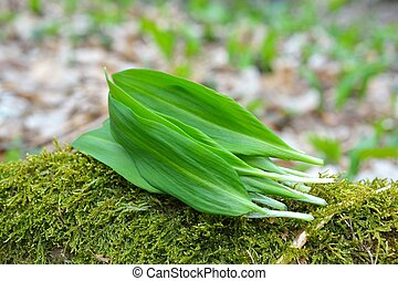 Ramsons leaves, wild garlic leaves in forest