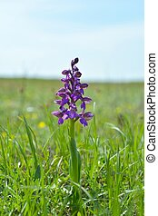 The Green-winged Orchid (Anacamptis morio), green-veined...