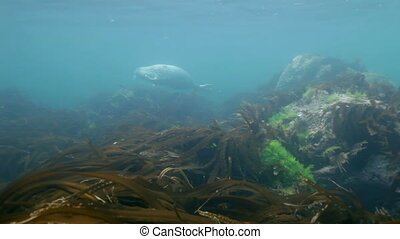 Gray seal swims in underwater grass in Japan Sea - Baby...