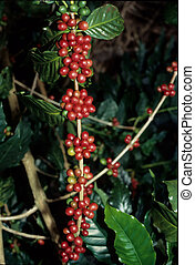 live coffee beans tall - live coffee beans on the bush