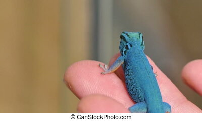 Lygodactylus Williamsi Lizard - Critically endangered...