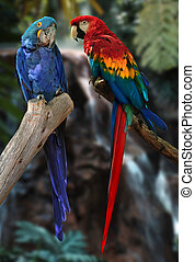 macaw parrots - hyacinth macaw and red and gold macaw...
