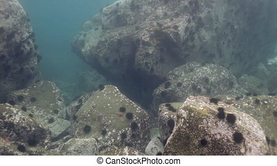 Gray seal swims among underwater rocks in Sea. - Baby Harbor...