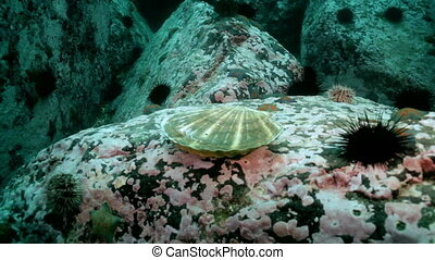 Scallop and sea urchins among the rocks on seabed - Scallop...