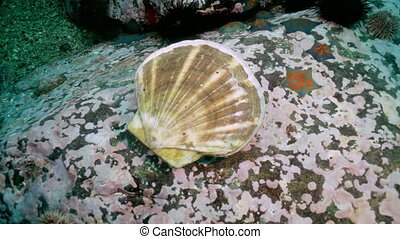 Scallop and sea urchins among the rocks on seabed. - Scallop...