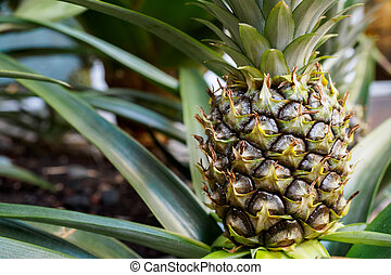 Young pineapple plant still in soil, in cloesup view....