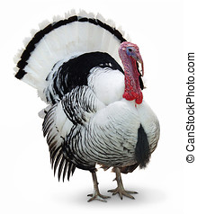 turkey strutting with plumage