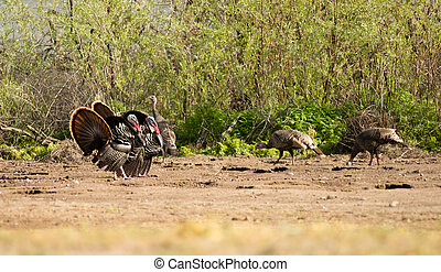Male Turkey Courting Mating Tall Growth Big Wild Game Bird -...