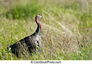 Male Turkey Running Tall Growth Big Wild Game Bird - A male...