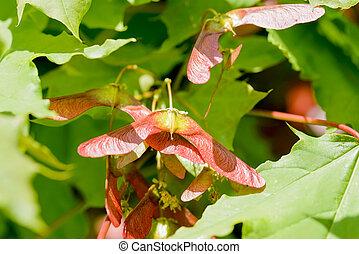 Acer Circinatum Samara - Close up detail of maple tree, Acer...
