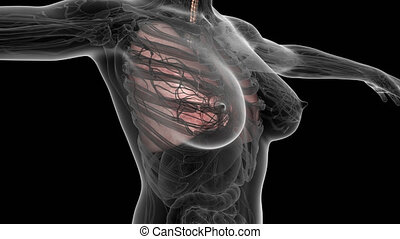 science anatomy scan of human body with lungs. PNG with...
