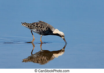 Ruff Philomachus pugnax - Ruff looking for food in its...