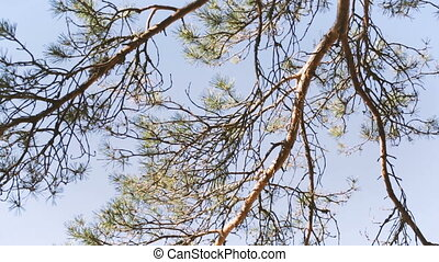 Pine branches against the blue sky Season video