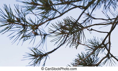 Pine branches against the blue sky.