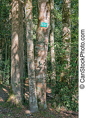 Cluster of Cape Blackwood trees - A cluster of Cape...