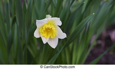 Flower narcissus in green grass