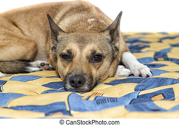 sleepy dog lying