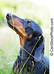 Portrait of black and red smooth-haired dachshund closeup