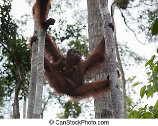 Mama orangutan with her baby hanging between two tree...