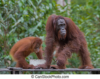 Pair of orangutans eat breakfast on a wooden platform in the...