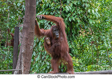 Mother orangutan with her baby stands on a log and rests...