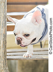 absent-minded French bulldog on the bench