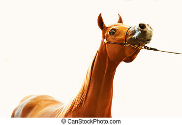 portrait of  arabian filly at white background