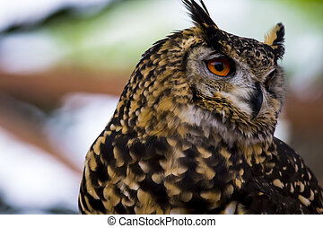 Spotted Owl Face - Spotted owl face portrait