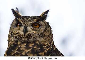 Spotted Owl Face - Spotted owl face close up