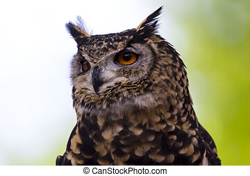Spotted Owl Face - Spotted owl face close up in day time