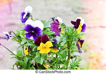 Viola cornuta - horned violet in a pot - Viola cornuta in a...