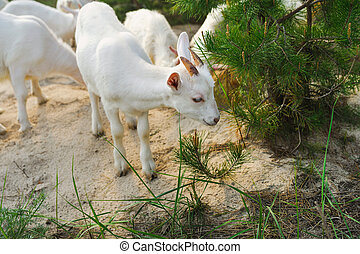 white young nanny goat searching food in a forest