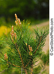 healthy cones of pine they appear only in May-June and have...