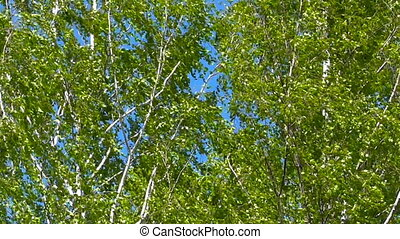 Russian birches rustle - Russian birches to bend, rustle in...