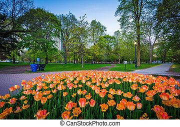 Tulips at Queen's Park, in Toronto, Ontario.