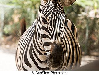 Zebra in a safari park