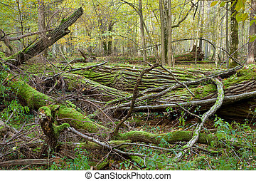 Deciduous stand of Bialowieza Forest in springtime with...