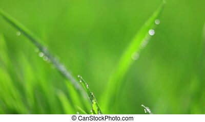 water drops on grass - Macro scene of rain drops on green...
