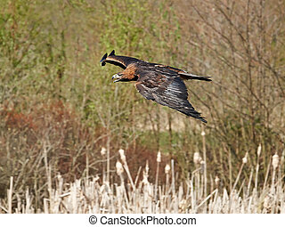 Golden eagle Aquila chrysaetos - Golden eagle in flight with...