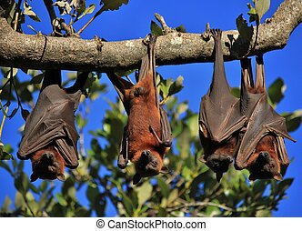 Sleeping flying foxes wrapped up in their wings - Wild...