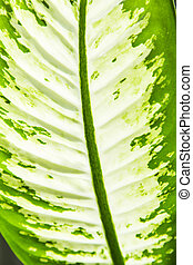 Green leaf of Dieffenbachia. - Green leaf of Dieffenbachia...