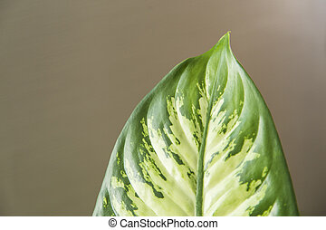 Leaf of dieffenbachia seguine close up, Abstract background