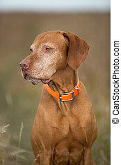 hungarian vizsla portrait outdoors - golden colour vizsla...