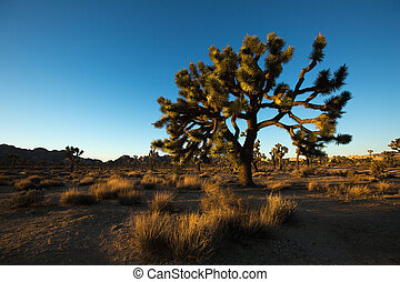 a Joshua Tree in the sunset