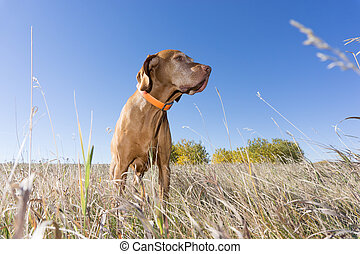 low angle view of a hunting dog in field - low angle view of...