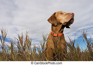 golden vizsla seen from below in the grass - golden colour...