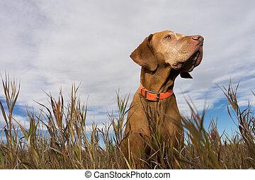 golden vizsla seen from below in the grass - golden colour...