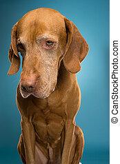 cute hungarian vizsla portrait - golden colour vizsla in...