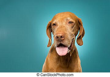 happy golden colour pure breed vizsla portrait - golden...